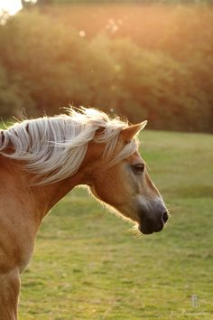 haflinger horse by Thomas Hautmann, via 500px
