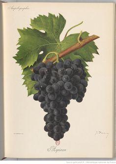 Ampélographie : traité général de viticulture. Tome 5 / publié sous la direction de P. Viala,..., V. Vermorel,... ; avec la collaboration de A. Bacon, A. Barbier, A. Berget... [et al.] Éditeur : Masson et Cie (Paris) 1901-1910