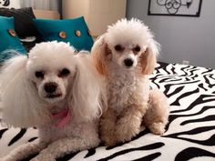 Thank you Marlene for sharing with The Poodle Patch Community...  and little Tiffany & Bella are very cute...  all love...