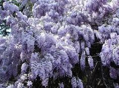 Chinese Wisteria. The blossoms of various species are edible cooked — some raw — but they are usually blanched in boiling water, strained, and mixed into salads or the deep fried. The rest of the plant is toxic per se.