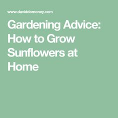 Gardening Advice: How to Grow Sunflowers at Home