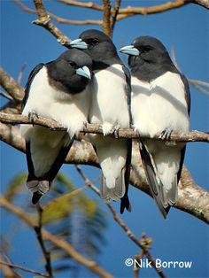 Great Woodswallows, Papua New Guinea