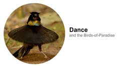 Dance: and the Birds-of-Paradise