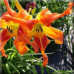 WATER MILL GARDENS... the daylilies of Dan & Jane Trimmer