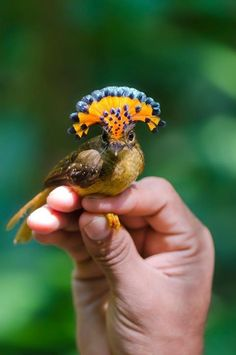 The Royal Flycatcher (Onychorhynchus coronatus) displays its impressive crest only rarely, while preening, during courtship, and after mating.