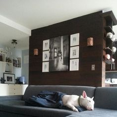Poor baby Loki is tired after his morning in park #bullterrier #mywestelm #stikwood