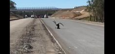 Kangaroo klutz face-plants on road while trying to hop fence