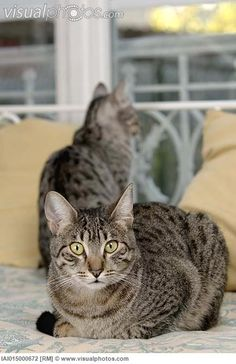 egypitain mau cats | Egyptian Mau cats on bed [IAI015000672] > Stock Photos | Royalty Free ...