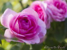 Kunstdruck-Leinwandbild mit drei rosaroten Rosenblüten
