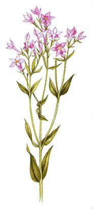 Operagastro > Ricette coi fiori: Digestivo della centaurea.