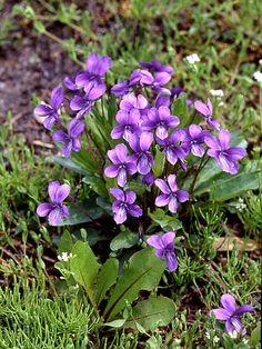 Image of Viola mandshurica