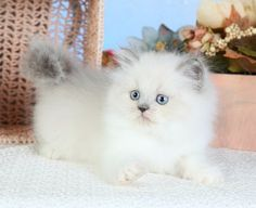 Teacup Himalayan Kittens | Himalayan Kittens | Himalayan ColorsSuperior Quality Teacup Persian ...
