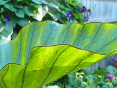 Colocasia 'Coffee Cups' is a fun stunner that can reach six feet and collects water in its leaves. The contrast of its chartreuse leaves to the magenta stems is fabulous.
