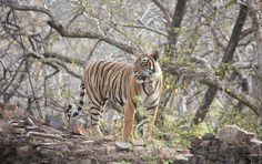 When you see the first strip of the tiger, its tough to believe the tiger is really walking towards you. And then he turns around, poses for your camera as if to say...you looking for a Tiger....hmmm, that's me