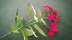 How To Make Jatropha Pandurifolia Flower From Crepe Paper - Craft Tutorial