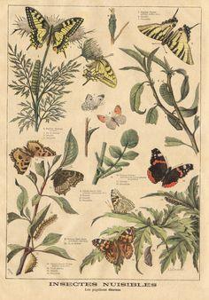 ptitjournal 27 juin 1897 in Art Vintage, Vintage Botanical Prints, Botanical Drawings, Botanical Art, Vintage Botanical Illustration, Botanical Posters, Vintage Prints, Vintage Drawing, French Vintage
