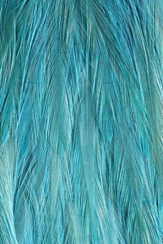 zsb  blue feathers