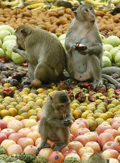 Monkeys eat fruit during the Monkey Buffet Festival at the Phra Prang Sam Yod temple in the city of Lopburi, North of Bangkok, Thailand