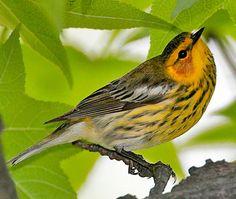 Cape May Warbler | Outdoor Alabama