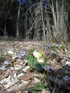 Schneerose und Leberblümchen - Schönheiten Nature Pictures, Plants, Garden, Garten, Nature Photography, Planters, Gardening, Outdoor, Home Landscaping