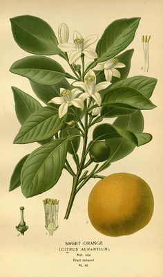 Sweet Orange (Citrus aurantium). Favourite flowers of garden and greenhouse. London and New York: Frederick Warne co.,1896-97. [n194_w1150] by BioDivLibrary, via Flickr