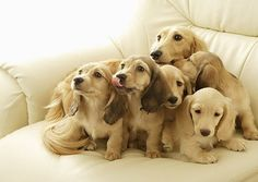 English cream dachshunds. so cute.  My Lucky is an English Cream Dachshund.
