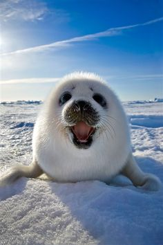 A harp seal from Canada cheeses for the camera.