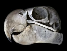 (Black cockatoo skull) - Greg Elms