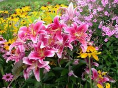 Lillies:  There are so many types of lily #flowers available that you can grow in your #garden (stargazer lily shown here).  So you can have different types of lilies flowering from early summer to fall depending on the species.  The lily flowers can grow in full sun to light shade, but need well-drained organic soil to do well.  Some are very tall and are perfect for the back of the border, or being a centerpiece of #flowerbed.
