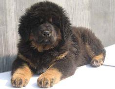 Tibetan Mastiff Puppy- Want