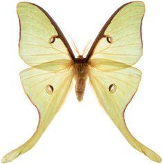 Evading sonar - luna moth http://www.labmanager.com/news/2015/02/moths-shed-light-on-how-to-fool-enemy-sonar#.VO4v7uGbEY8