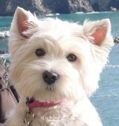 Westie at the Seaside