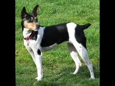 Rat Terrier Dog Training - Free Course to Train your Rat Terrier Dog Today