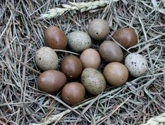 Button quail eggs.