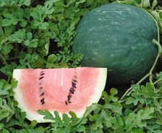 Watermelon Scaly Black D55125 (Red) 10 Organic Seeds by David's Garden Seeds David's Garden Seeds http://www.amazon.com/dp/B00T7ZM2DW/ref=cm_sw_r_pi_dp_cesqvb18FYB22