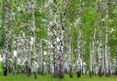 Picture of birch trees in a summer forest stock photo, images and stock photography. Photo Wallpaper, Cool Wallpaper, Wallpaper Murals, Led Stripes, Spring Landscape, Photo Tree, Wall Murals, Stock Photos, Nature