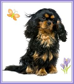Thinking my next Cavalier must be a Black and Tan one....