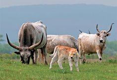 magyar szürkemarha Cow, Hungary, Desk, Animals, Dishes, Desktop, Animales, Animaux, Tablewares