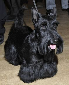 Best in Show Winner of the 134th Westminster Kennel Club Dog Show, Scottish Terrier Sadie rings the opening bell at the New York Stock Exchange on February 18, 2010 in New York City