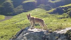 Inheritance di Fossombrone al Parco Naturale dei Monti Sibillini.  #WeAreFossombrone #CaneLupodiSaarloos