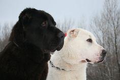 Central Asian Shepherd Dog 04