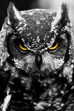 49 Ideas black bird tattoo white owls for 2019 Owl Photos, Owl Pictures, Beautiful Owl, Animals Beautiful, Owl Bird, Pet Birds, Owl Tattoo Drawings, Black Bird Tattoo, Tattoo Bird