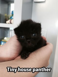 * * Must be a 4-5 week old Bombay as it is written they were bred to appear like small panthers. Healthy 'lil rascal.