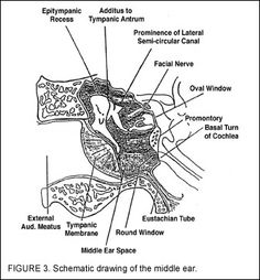 labelled diagram of middle ear bones or auditory ossicles