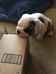 Untitled Cute Puppies Kittens English Bulldog Puppies Bulldog