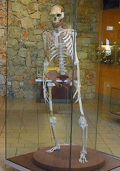 El homo herecturs tiene un volumen craneal, muy variable, fue aumentando a lo largo de su dilatada historia. Tenía una capacidad mayor que la del Homo habilis y que la del Homo georgicus encontrado en Dmanisi. Presentaba un mayor dimorfismo sexual que en el hombre moderno. Era muy robusto y tenía una talla elevada, hasta 1,80 m de medida.