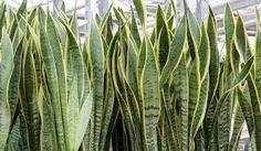 11 plantas que vão purificar o ar de sua casa e diminuir as crises de alergia   Cura pela Natureza.com.br  Espada de São Jorge (Sansevieria trifasciata)