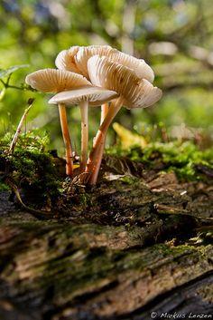 Elves Faeries Gnomes:  #Fungi.