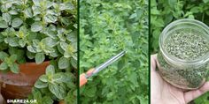 Τα Μυστικά της Καλλιέργειας της Ρίγανης, που θα Πρέπει να Ξέρετε πριν Φυτέψετε! Terrace Garden, Herb Garden, Amazing Gardens, Backyard Landscaping, Garden Wedding, Garden Design, Diy And Crafts, Herbs, Landscape