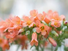 Kalanchoe delagoensis – Chandelier Plant, Mother of Thousands → Plant profile and more photos at: http://worldoffloweringplants.com/kalanchoe-delagoensis-chandelier-plant-mother-thousands/